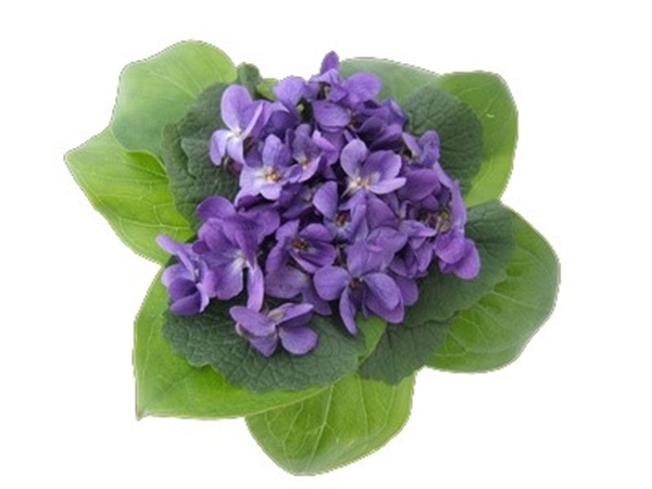 Sweet Violet Fragrance Image